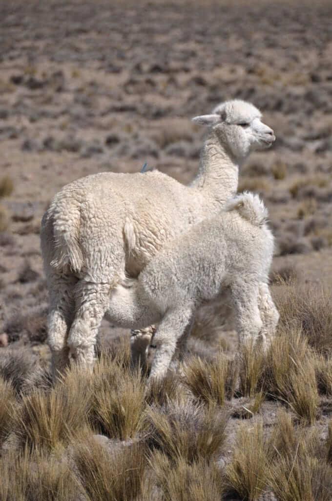 Cañón del Colca, Alpacas peruanas