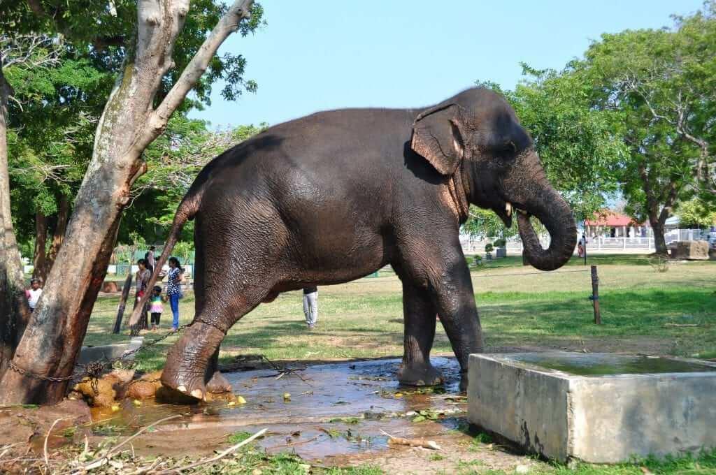 Los elefantes de Sri Lanka