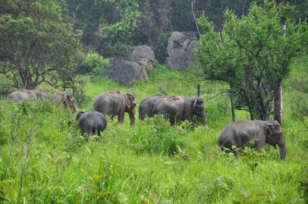 Elefantes de Sri Lanka