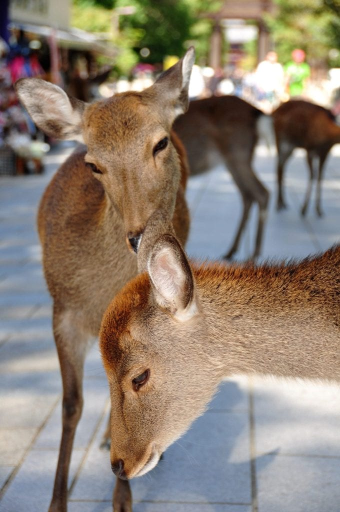que ver en Nara, ciervos en Nara-koen