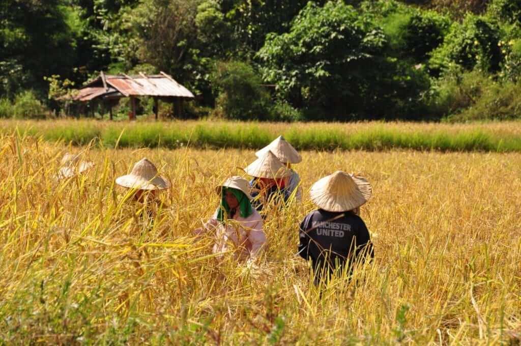 Vang Vieng, campos de arroz